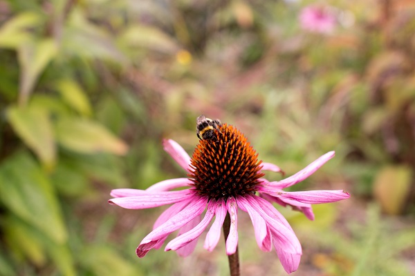 Echinacea root ~ An immune tonic - The Apothecary